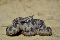Nose-horned Viper - Vipera ammodytes Stock Photo