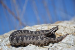 Nose-horned Viper - Vipera ammodytes Stock Images