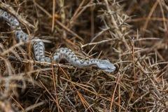 Nose-horned viper Vipera ammodytes Stock Photo
