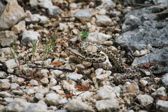 Nose-horned viper Stock Photography