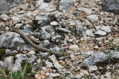 Nose-horned viper Royalty Free Stock Photo