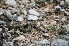 Nose-horned viper Royalty Free Stock Photos