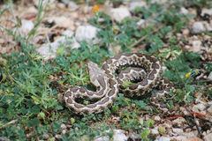 Nose-horned viper Stock Image