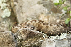 Nose-horned Viper Stock Images