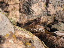 Nose horned viper Stock Image