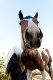 The nose of the horse. Royalty Free Stock Image