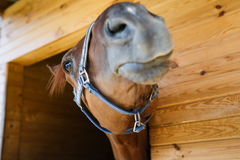 Nose of a horse close up Royalty Free Stock Photography