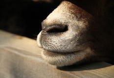 Nose of mouflon Stock Photography
