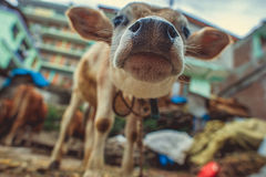 The nose and the muzzle. Of a brown calf Royalty Free Stock Photo