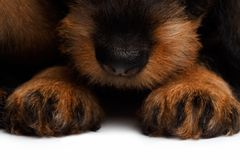 Nose and paws dachshund puppies Royalty Free Stock Image