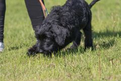 Puppy of schnauzer dog training searching for clues. Nose of puppy of black schnauzer dog at work. Dog training searching for clues stock photos