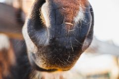 The nose of a red Arabian breed horse is very close up at a stable in spring royalty free stock photography