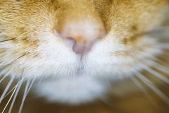 The nose of a red cat. Selective soft focus royalty free stock image