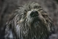 A satisfied dog asks for attention and affection. The nose of a shaggy happy dog who asks to play with him Stock Image