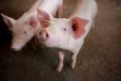 Focus is on nose. Shallow depth of field. pigs at the farm. Is on nose. Shallow depth of field. pigs at the farm stock images