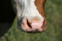 Nose of a Simmental cow in Switzerland Royalty Free Stock Photo