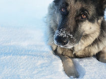 Nose in Snow. Portrait of a playful dog with nose in snow, outdoor close up shot Royalty Free Stock Images