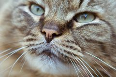 Nose of a striped male cat Royalty Free Stock Image
