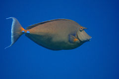 Nose surgeon fish and blue sea Royalty Free Stock Images