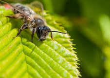 Nose To The Ground. A close-up of a small bee sitting on a green leaf royalty free stock images