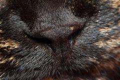 Nose of tortoiseshell cat Royalty Free Stock Photo