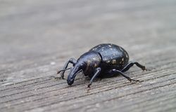 Nosed beetle Royalty Free Stock Photos