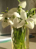 Nosegay of spring snowdrop flowers. Bouquet of spring snowdrops flowers royalty free stock photography