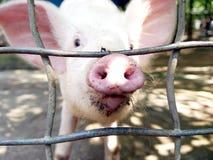nosey свинья Стоковое фото RF