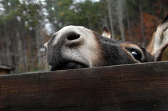 Nosey Stock Photo