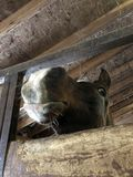 Nosey Arabian Horse. Nosey and curious Arabian horse brown black and stock image