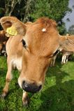 Nosey calf Stock Photo