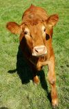 Nosey calf in spring Stock Image