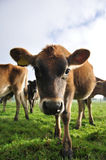 Nosey calf Royalty Free Stock Photo