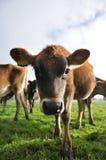 Nosey calf Royalty Free Stock Photo