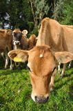 Nosey calf Royalty Free Stock Images