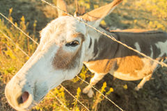 Nosey donkey - fisheye effect Stock Photography