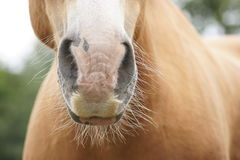 Nosey Horse Stock Photo
