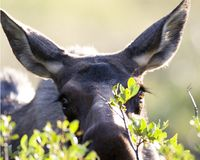 Nosey Moose. Female moose peeking through the bushes at the camera. Shot in the Colorado Rockies. Canon 600mm/IS Lens Royalty Free Stock Images