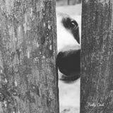 Nosey Neighbor Dog. Neighbor dog peeking through the fence waiting for a treat Royalty Free Stock Photo