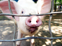 Nosey Pig Royalty Free Stock Photo