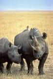 noshörning Fotografering för Bildbyråer