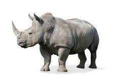 noshörning Royaltyfri Bild