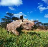 noshörning Arkivbilder
