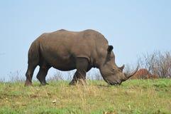 Noshörning eller noshörning för manlig tjur gullig vit i en modig reserv i Sydafrika royaltyfri fotografi
