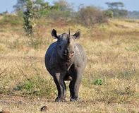 noshörning för africa stor black fem Arkivfoto