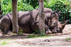 Noshörning i Chonburi Arkivbilder