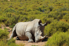 Noshörning i den Kruger nationalparken Arkivbild