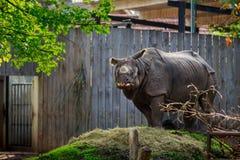 Noshörning i den Planckendael zoo Arkivfoton