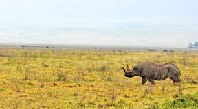 Noshörning i den Tanzania nationalparken arkivbild