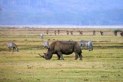Noshörning i den Tanzania nationalparken Arkivfoto